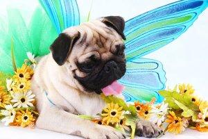 This pug loves fairies as well....!