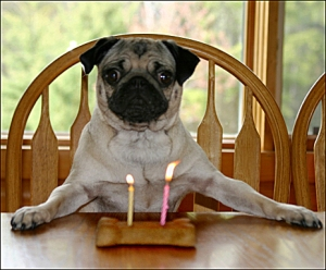 This pug wishes Gilbert Gottfried a Happy Birthday!