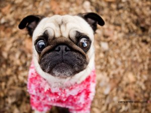 This pug is looking forward to finding about the comedies being released today!