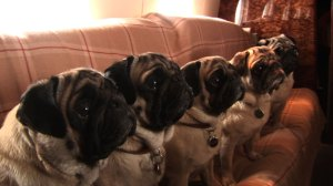 These pugs can't wait to get to the cinema this weekend!