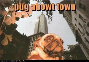 This little pug is discovering Manhattan!