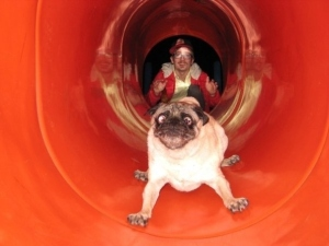At what point did this pug realise this wasn't a good idea?